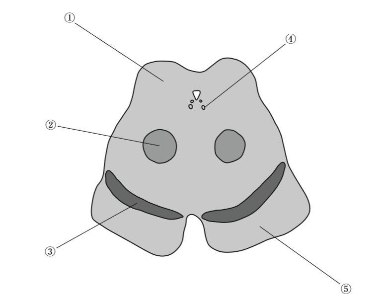 中脳レベルの横断面の模式図を示...